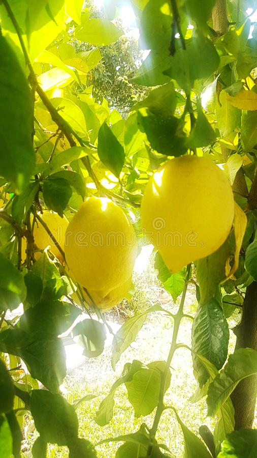Citron jaune. Lemon, fruit, yellow stock photo