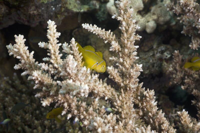 Citron koraalgoby (gobiodon citrinus) royalty-vrije stock fotografie
