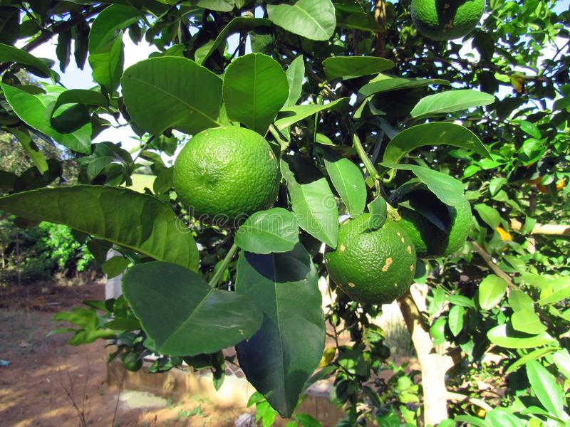 Citron-kryddnejlika citrus Ã- limonia royaltyfri bild