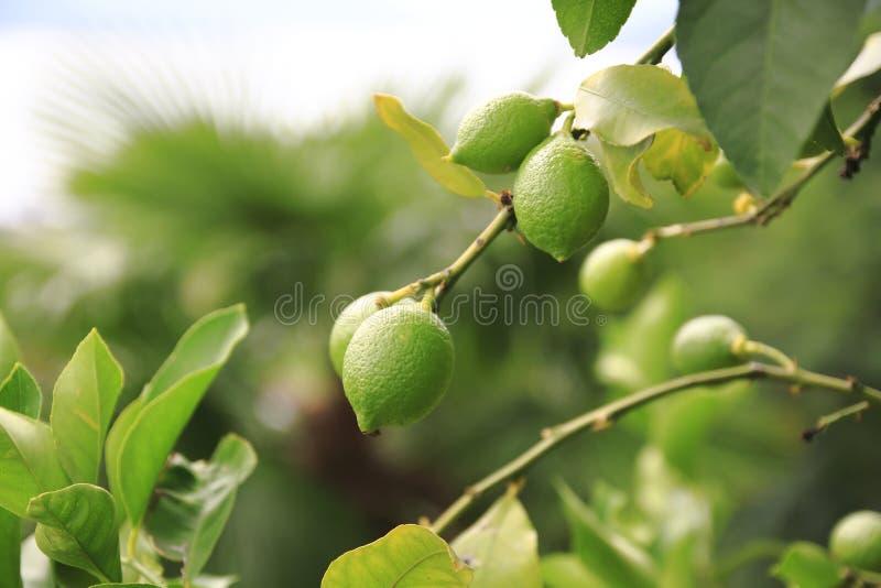 Citron limefrukt, i trädet fotografering för bildbyråer