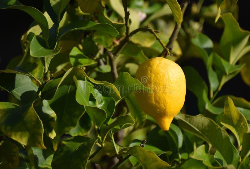 Citron mûr accroché à un arbre photographie stock libre de droits