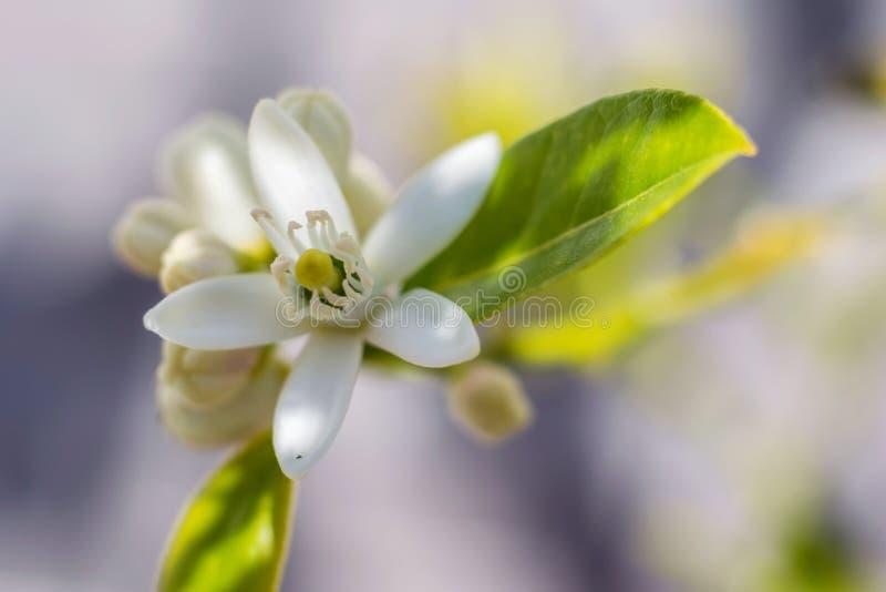 Citron och blomma royaltyfria foton