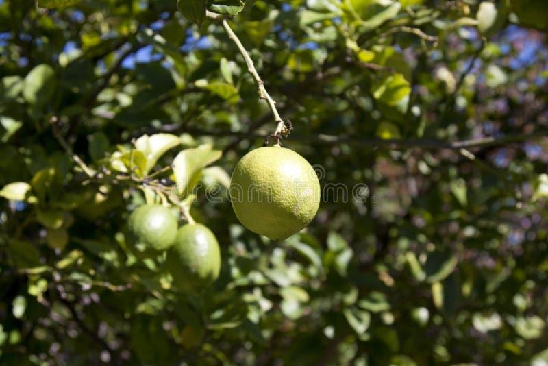 Citron pendant de l'arbre image stock