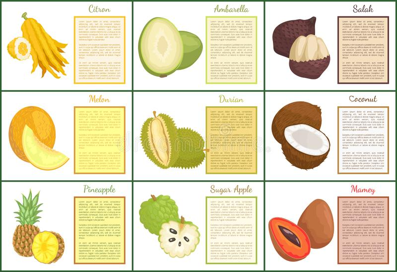 Citron and Salak Fruits Set Vector Illustration. Citron and salak fruits posters with text set vector . Mamey and pineapple, sugar apple and durian. Melon stock illustration