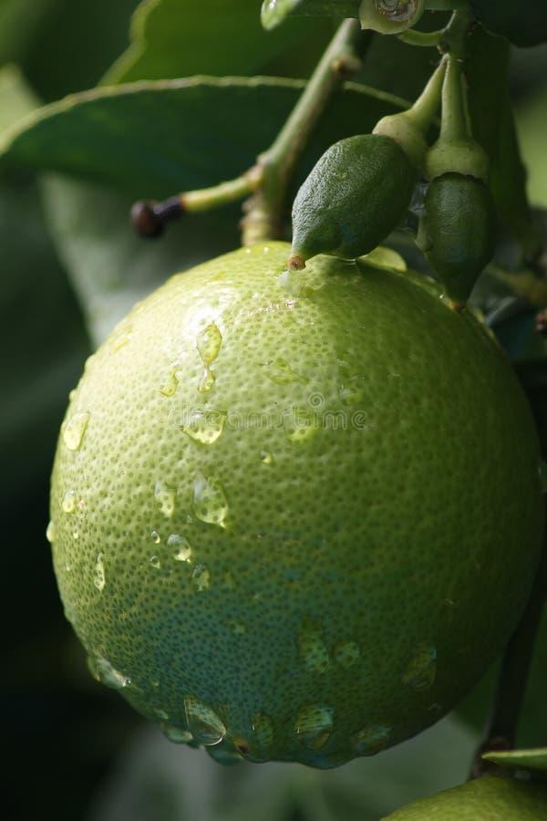 Citron vert frais sur un arbre avec des baisses et des pores de l'eau photographie stock