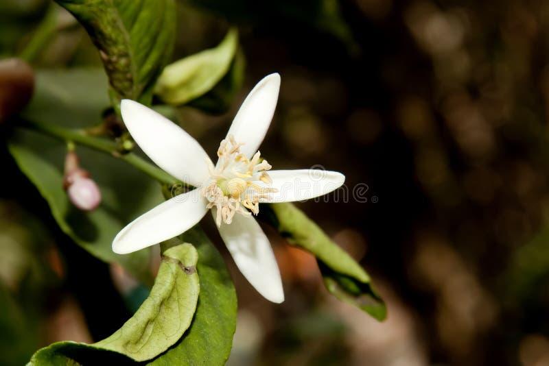 Citronblomma (Citrus Limon) royaltyfria bilder