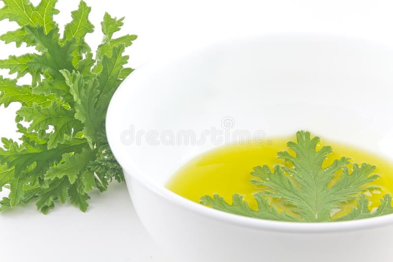 Citronella Plant Mosquito Repellant royalty free stock photography