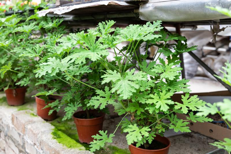 Citronella plant are natural mosquito repellent with it scented nature. Source of essential oil royalty free stock image