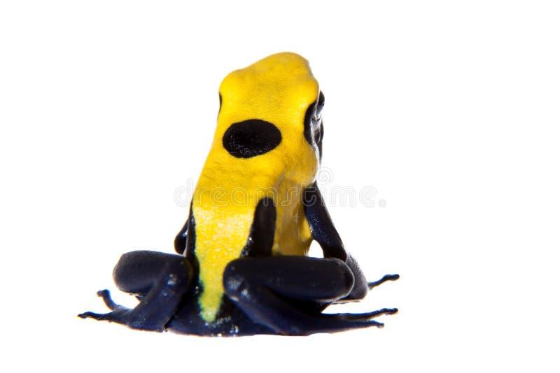 Citronellolja som färgar giftpilen som frogling, Dendrobates tinctorius, på vit arkivfoto