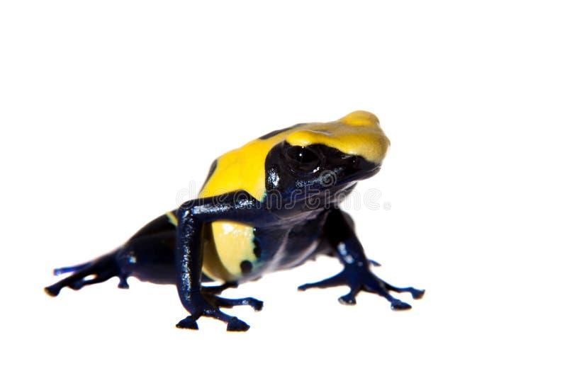 Citronellolja som färgar giftpilen som frogling, Dendrobates tinctorius, på vit royaltyfri bild