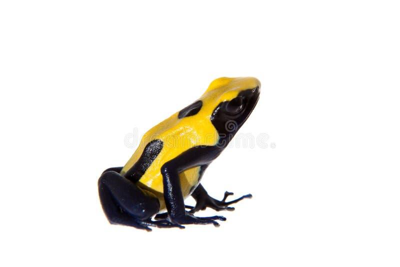 Citronellolja som färgar giftpilen som frogling, Dendrobates tinctorius, på vit arkivfoton
