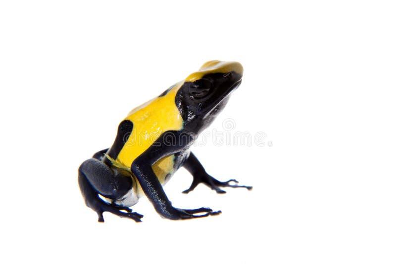 Citronellolja som färgar giftpilen som frogling, Dendrobates tinctorius, på vit royaltyfri foto