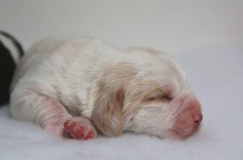 Citronen och vit färgade beaglevalphunden på en gammal vecka arkivfoton