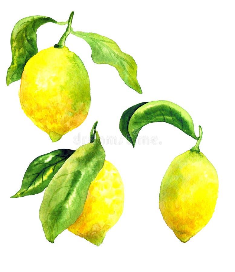 Citroner med gr?na sidor E r Hand dragen vattenf?rgillustration Isolerat p? vektor illustrationer
