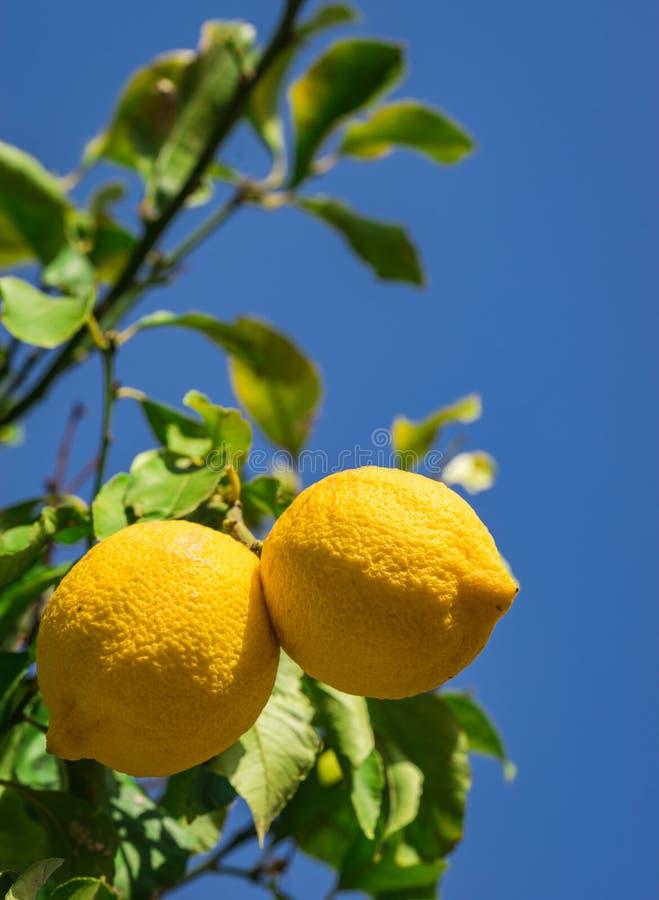 Citronfruktträdgård med mogna frukter på filial på trädet arkivfoton