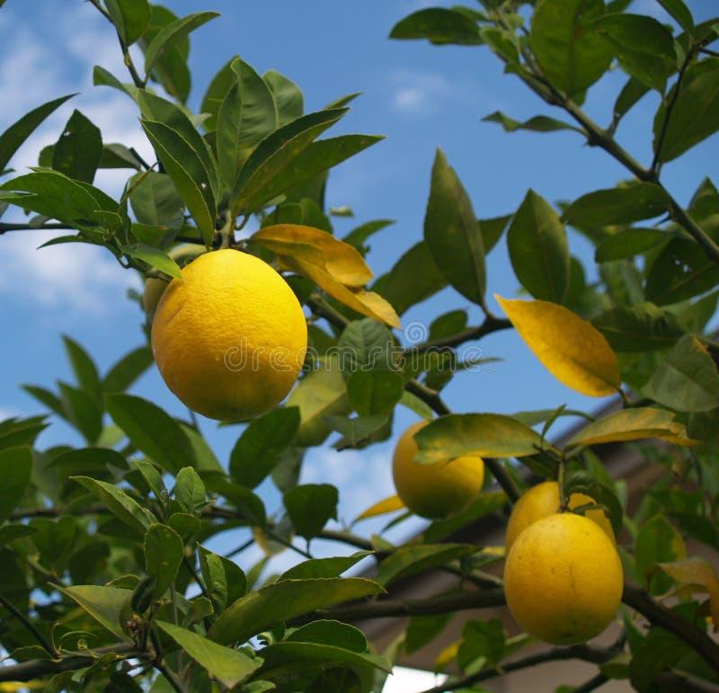 Citronnier images stock