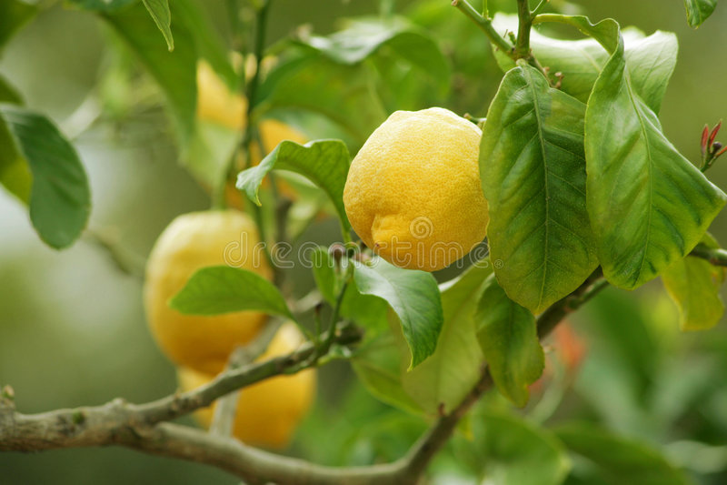 Citronnier image stock