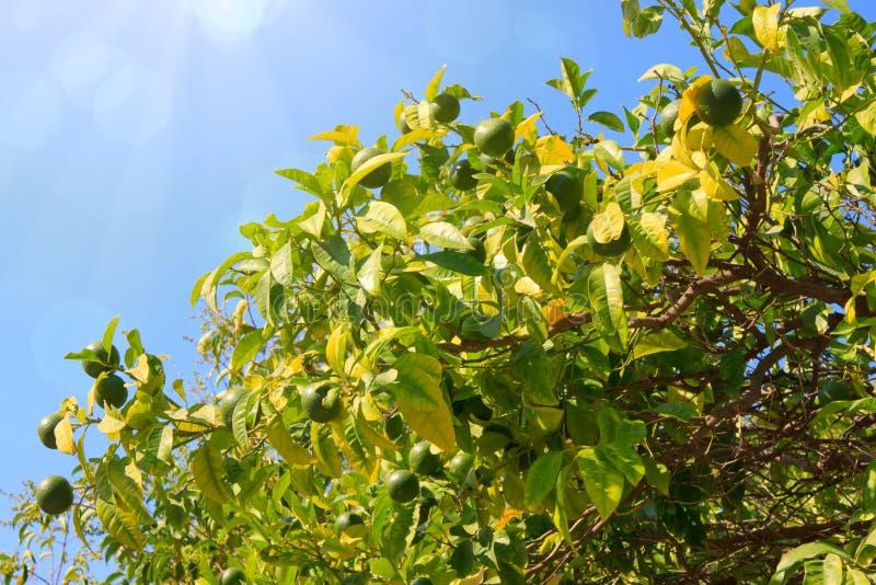Citronnier avec le citron photos stock