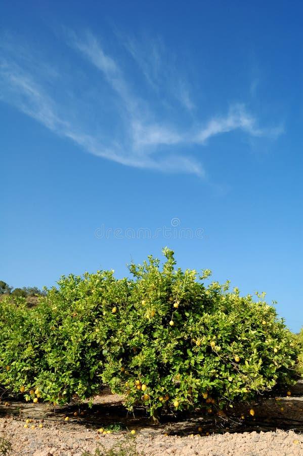 citronniers image stock