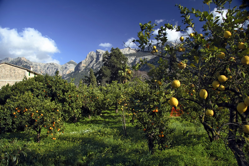 Citronniers, Majorca, Espagne images libres de droits