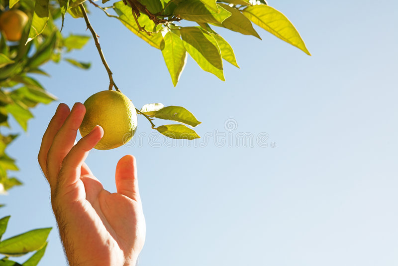Citrons de cueillette d'homme photo stock