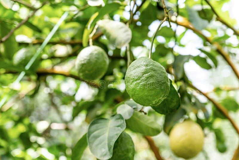 Citrons de maturation sur le citronnier dans le climat tropical photo stock