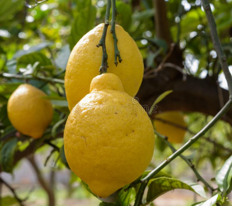 Citrons jaunes au Sun photographie stock
