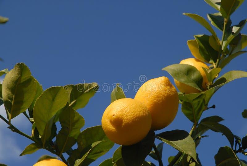 Citrons mûrissant sur l'arbre, contre le ciel bleu avec l'espace de copie images stock