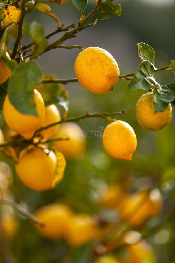 Citrons mûrs juteux frais sur une branche Fond naturel photographie stock libre de droits