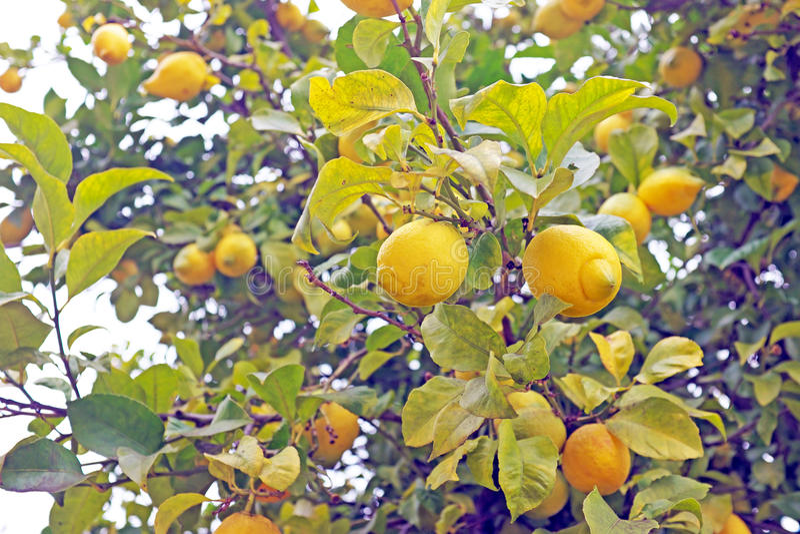 Citrons mûrs sur un arbre photos stock