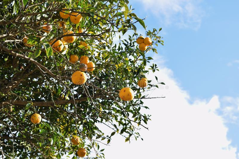 Citrons, oranges et limettes photo libre de droits