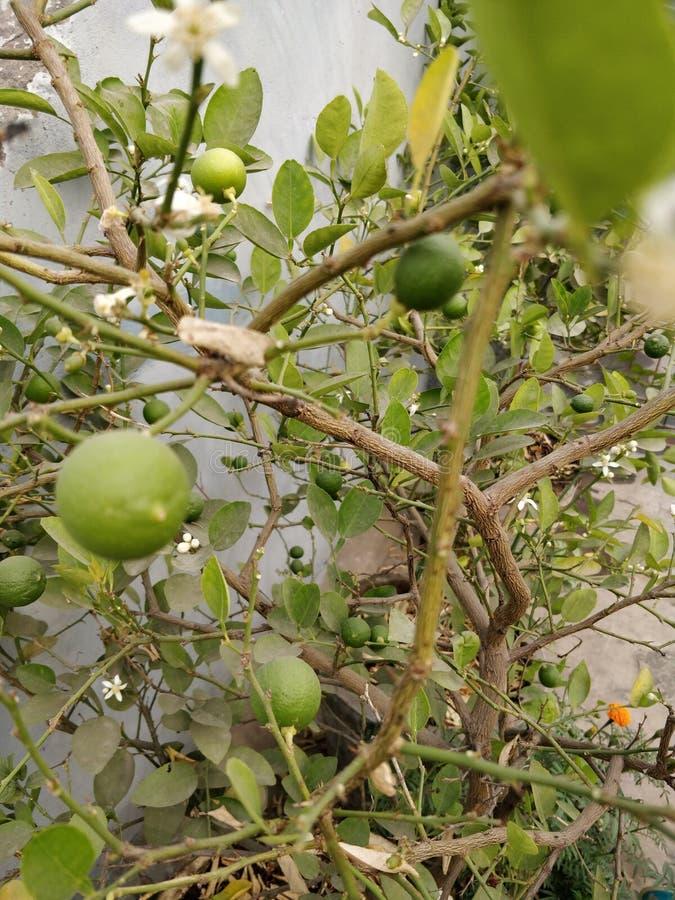 Citrons organiques du pays photographie stock libre de droits