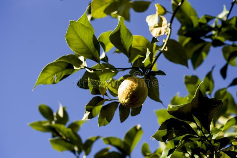 Citrons splendides accrochant sur la branche photographie stock libre de droits
