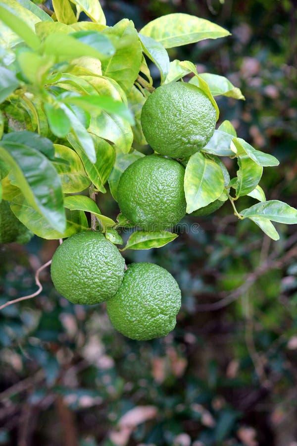 Citrons sur la branche d'arbre non mûrie photographie stock libre de droits