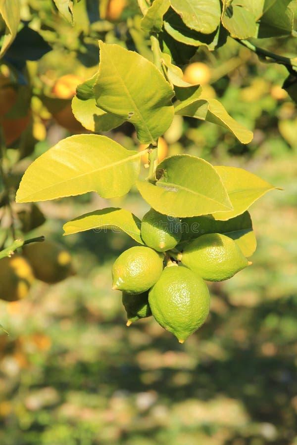 Citrons verts à la branche au soleil image libre de droits