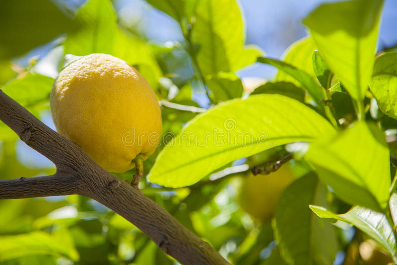 Citronträd royaltyfri bild