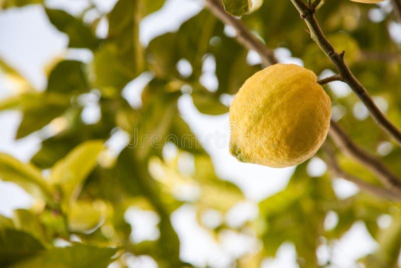 Citronträd arkivbild