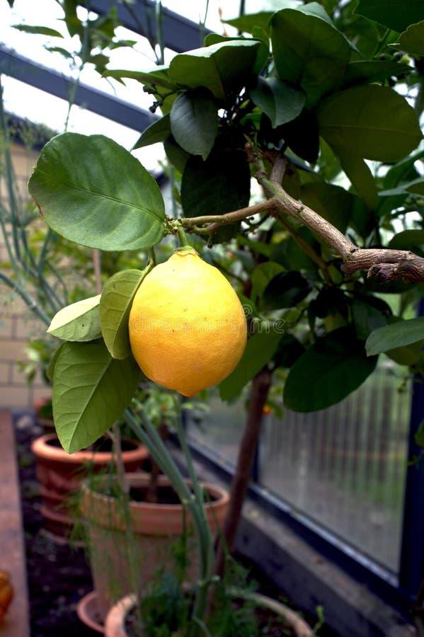 Citronträd I En Drivhus Fotografering för Bildbyråer