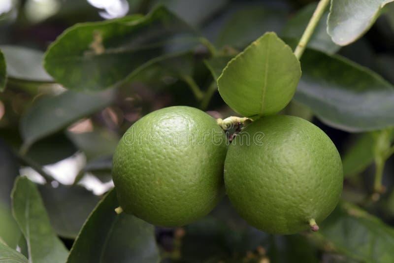 Citronträd med frukt royaltyfri fotografi