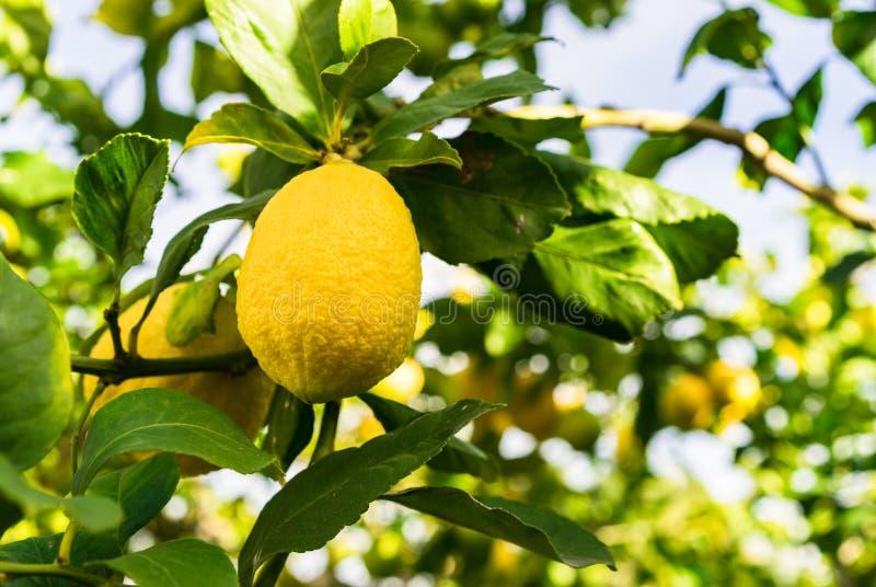 Citronträd med mogen gul frukt royaltyfria bilder