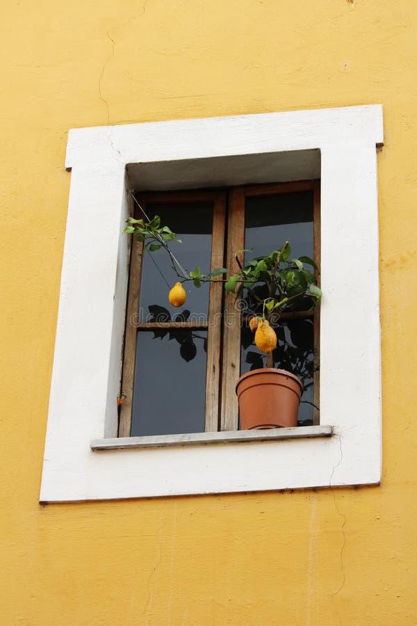 Citronträd på fönsterfönsterbrädan, Rome, Italien arkivbild