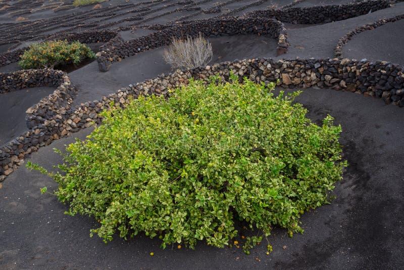 Citronträd som växer i lavajord, Lanzarote arkivfoton