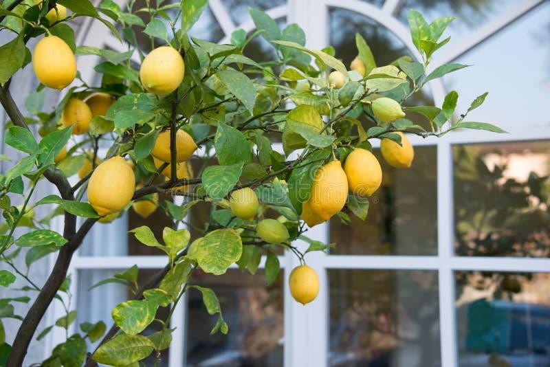 Citronträd vid fönstret royaltyfria foton