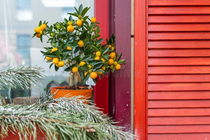 Citronträdet med citronen och kvisten av sörjer på fönstret royaltyfri fotografi