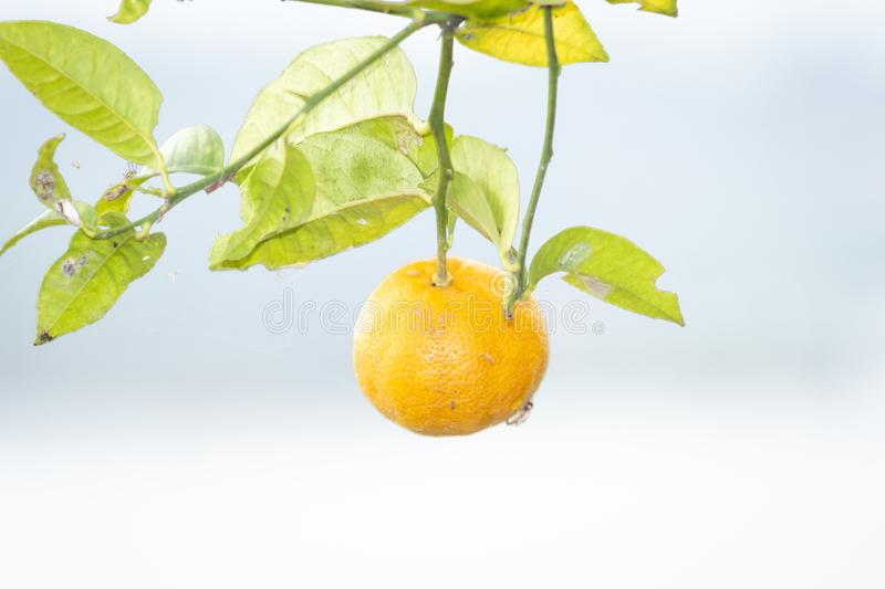 Yellow lemon on the tree in the garden. stock images