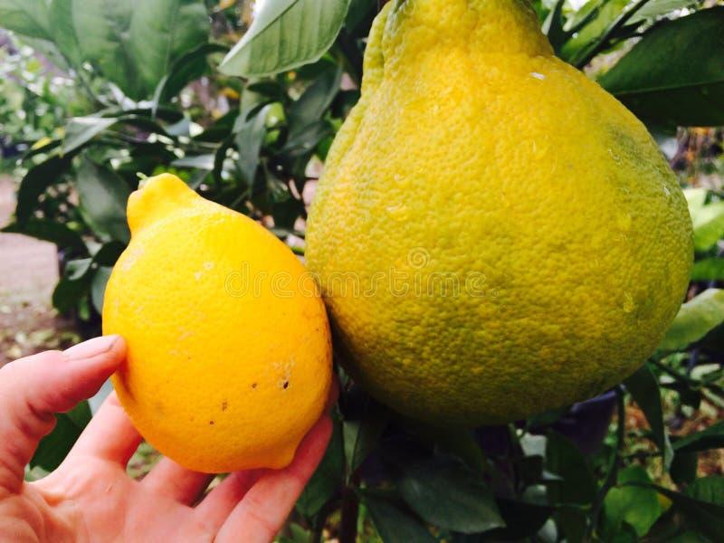 Citrus fotografering för bildbyråer
