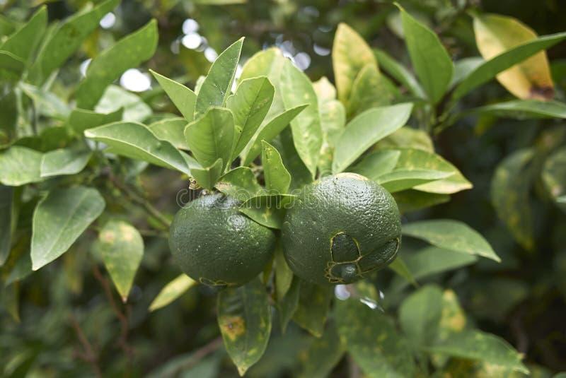 Unripe fruit of Citrus x aurantium. Citrus aurantium branch with unripe fruits royalty free stock photo