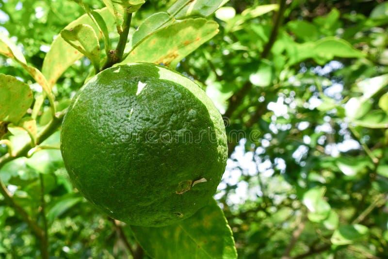 Citrus aurantium var. aurantium, Bouquetier, Sour orange, Bitter orange, royalty free stock photos
