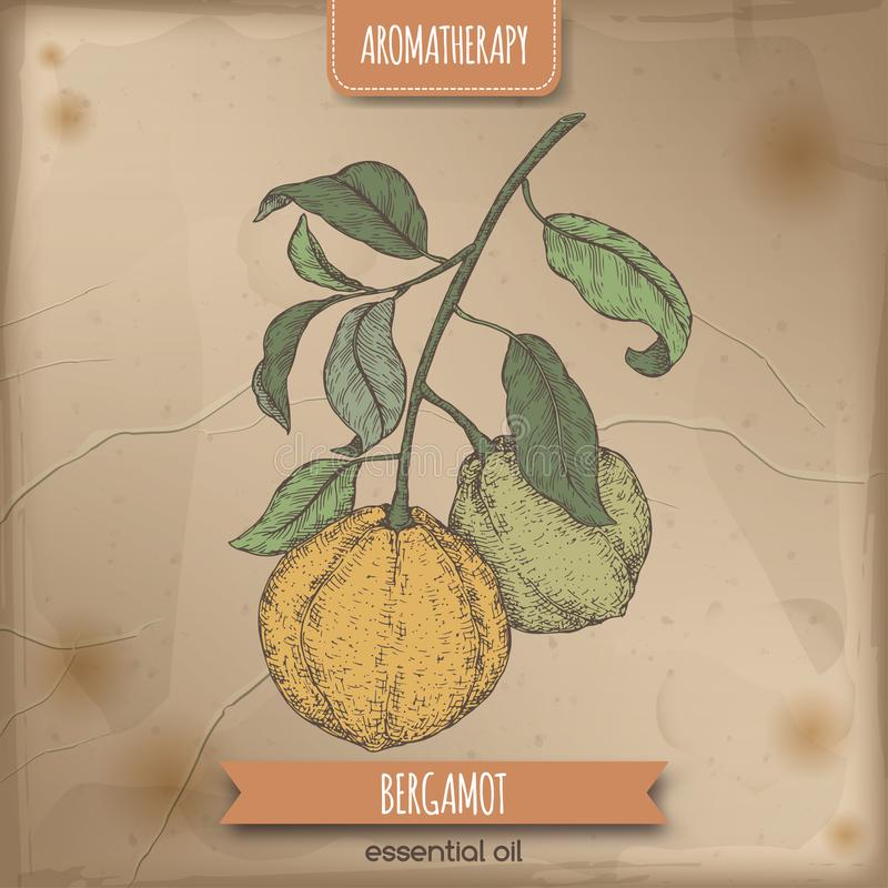 Citrus bergamia aka bergamot branch color sketch on vintage background. stock illustration