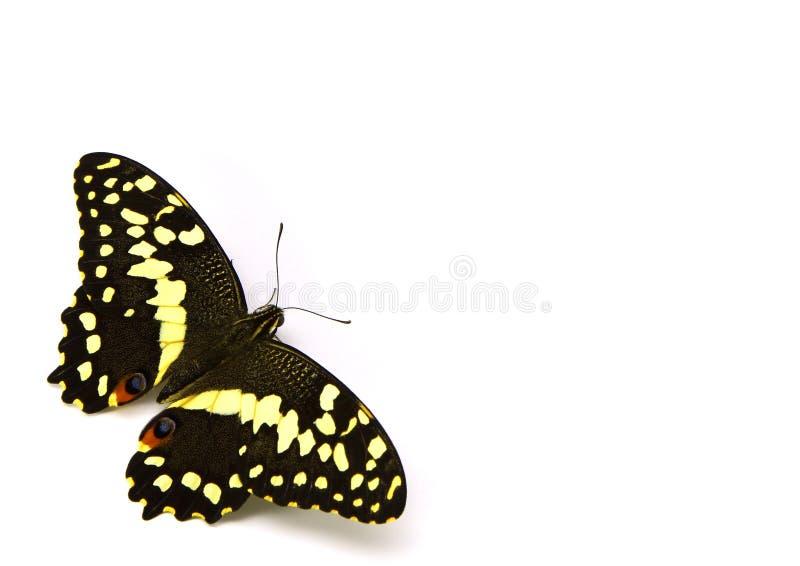 Citrus Fjäril (blc) Gratis Arkivbild